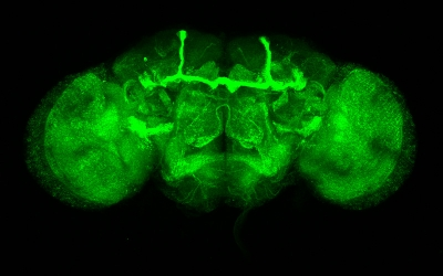 Neurons in the adult brain expressing GFP